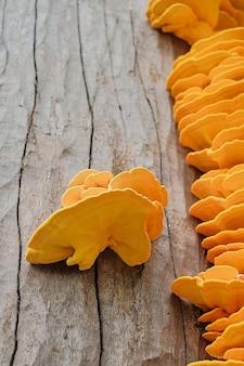 Foco seletivo no cogumelo tinder fungo amarelo-enxofre ou cogumelo de frango (laetiporus sulphureus) em um tronco de árvore. cogumelos selvagens da floresta, fundo natural