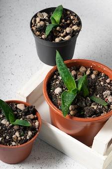 Foco seletivo, pequenos brotos da planta aloe vera em vasos sobre uma mesa de luz