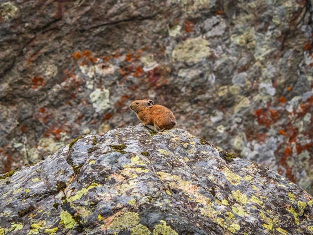 Foco seletivo. perto do engraçado pika ochotona collaris senta-se na montanha rochosa de altai. mamífero pequeno bonito em bokeh de fundo. pequeno roedor pika aquece-se na rocha.