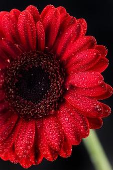 Foco seletivo vertical de uma gerbera vermelha com pétalas orvalhadas