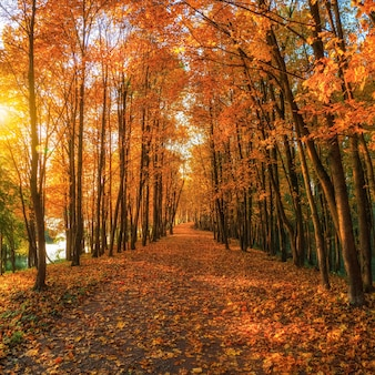 Foco suave. beco ensolarado com bordos no parque outono. queda de folhas de outono. um caminho em um parque ensolarado de outono com folhas caindo. vista quadrada.