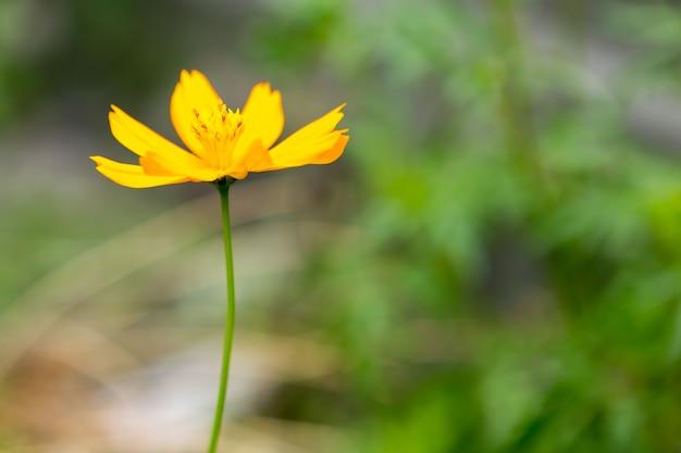 Foco suave de flor amarela cosmos com espaço de cópia certo para o texto