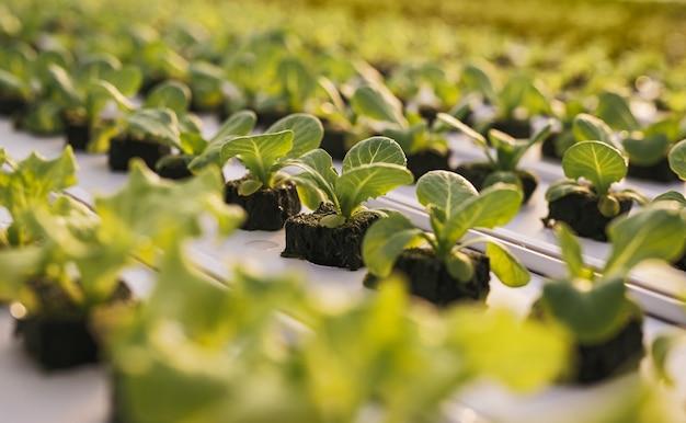 Foco suave de pequenos brotos de alface verde crescendo em fileiras em uma moderna estufa agrícola com sistema hidropônico