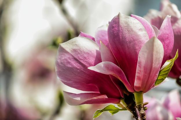 Foco suave de uma flor de magnólia rosa em uma árvore com fundo desfocado
