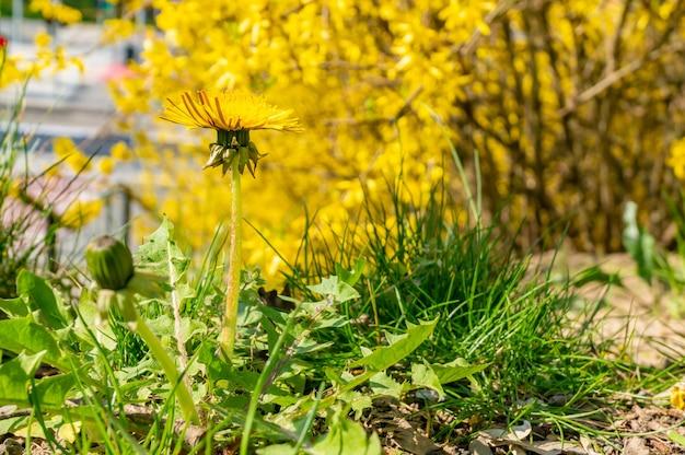 Foco suave de uma planta dente de leão com flor amarela contra árvores amarelas no parque
