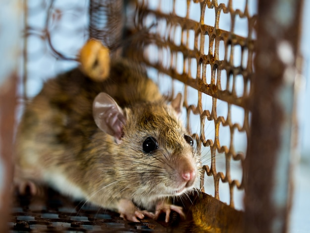 Foco suave do rato em uma jaula que captura um rato. o rato tem contágio a doença para os seres humanos