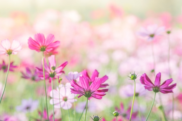 Foco suave e seletivo do cosmos, flor embaçada para plano de fundo, plantas coloridas