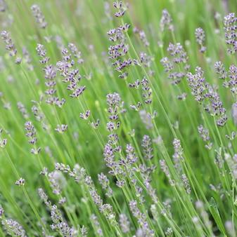 Foco suave em lindas flores de lavanda no jardim de verão