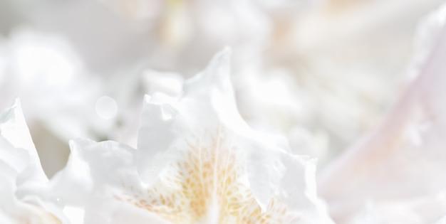 Foco suave fundo floral abstrato rododendro branco pétalas de flores macro pano de fundo para