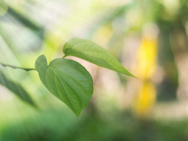 Foco suave. lindo fundo de textura de folhas verdes de betel