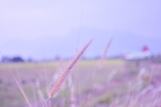 Foco suave pennisetum: plumas de grama ornamental / fundo de flores no jardim