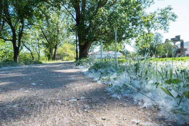 Fofo branco encontra-se à beira da estrada na grama verde conceito choupo alergia, tempo de primavera