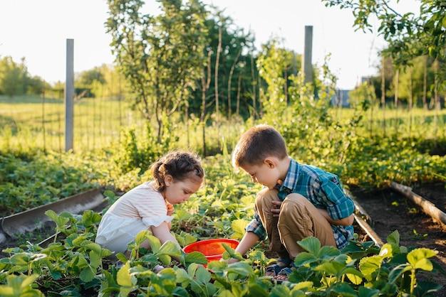 Fofo e feliz irmão e irmã em idade pré-escolar, coletam e comem morangos maduros no jardim em um dia ensolarado de verão. infância feliz. colheita saudável e amiga do ambiente.
