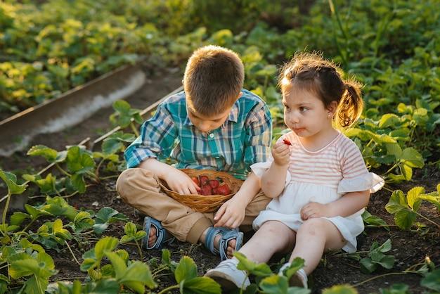 Fofo e feliz irmão e irmã em idade pré-escolar, coletam e comem morangos maduros no jardim em um dia ensolarado de verão.