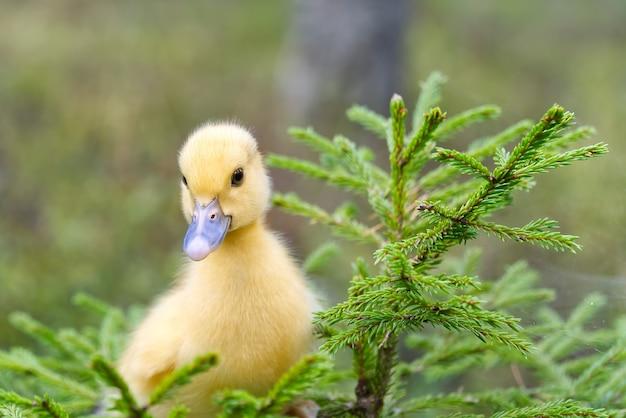 Fofo patinho amarelo está andando na grama verde na floresta de primavera. conceito de jovem patinho de páscoa. animais selvagens
