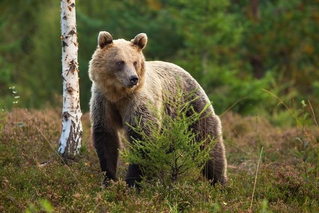 Fofo urso-pardo em pé atrás de uma pequena árvore na charneca e olhando de lado.