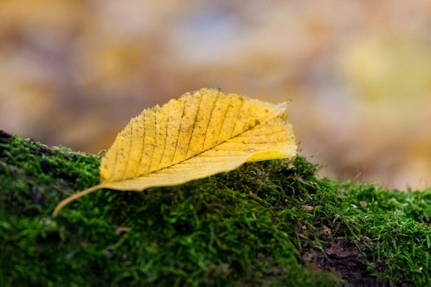 Folha amarela em musgo verde em fundo desfocado