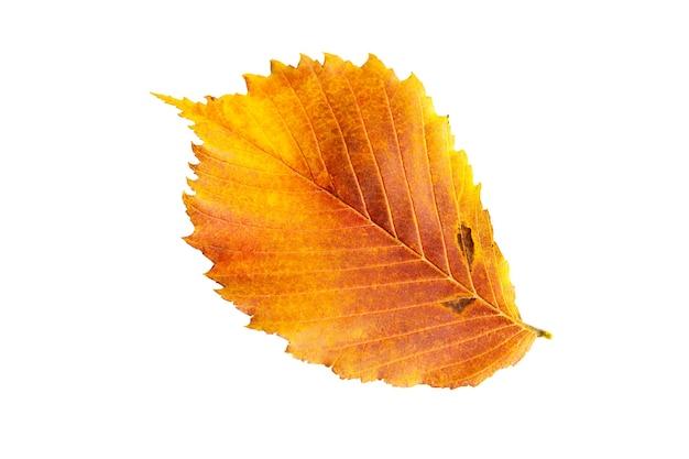 Folha amarela-vermelha caída de outono do olmo de ulmus em um fundo branco é um isolado