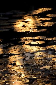 Folha bonita de lotus que reflete com por do sol.