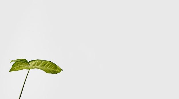 Folha botânica de vista frontal com espaço de cópia