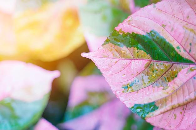 Folha cor-de-rosa com gota e luz solar da chuva. fundo de natureza fresca.