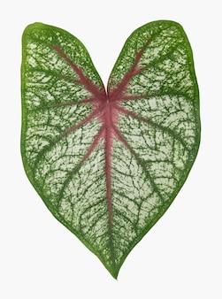 Folha da planta de antúrio em fundo branco