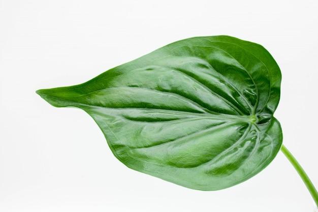 Folha da planta de monstera isolada no fundo branco