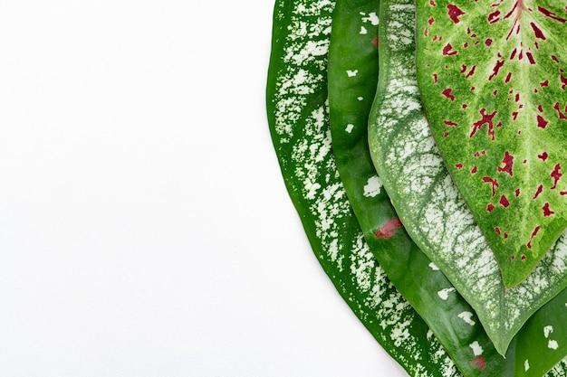 Folha da planta nephthytis em fundo branco