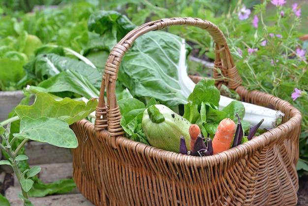 Folha de acelga, alface, abobrinha, cenoura e feijão em uma cesta de vime colocada em uma horta