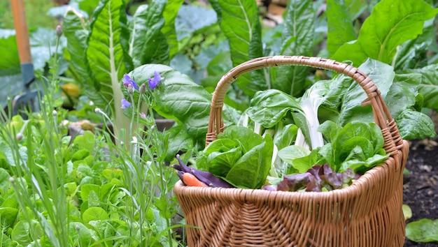 Folha de acelga e alface em uma cesta de vime colocada em uma horta