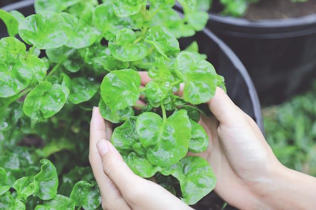Folha de agrião orgânico verde em vaso de plástico