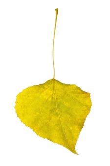 Folha de álamo amarelada de outono isolada no fundo branco
