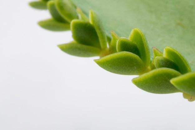 Folha de aloe vera close-up com espaço de cópia