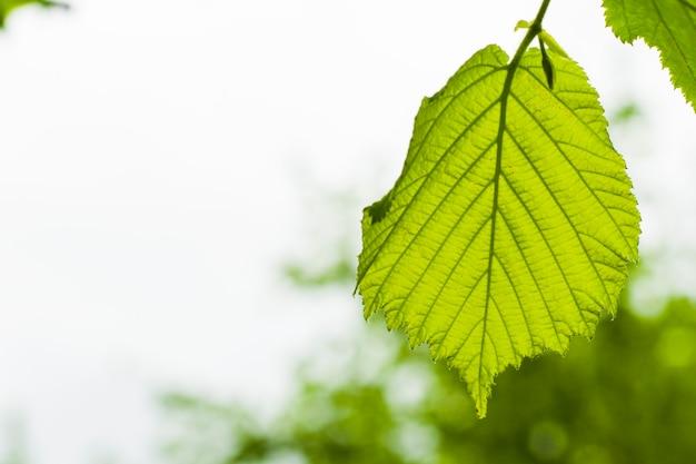 Folha de avelã, fundo de folha verde, luz do dia