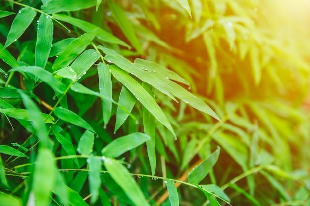 Folha de bambu fresco verde natureza fresca após chover gota para fundo natural.