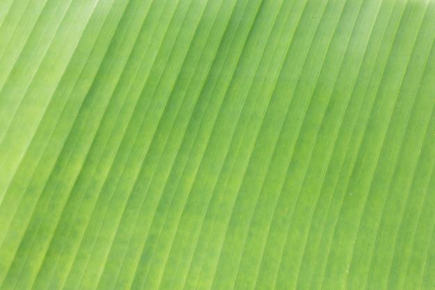 Folha de bananeira close-up