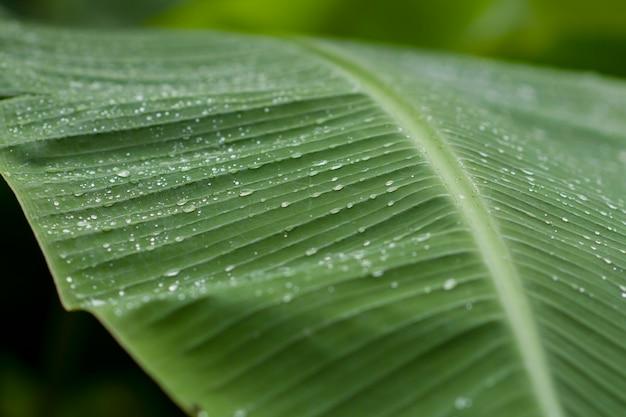 Folha de bananeira com gotas de chuva depois da chuva parar de cair