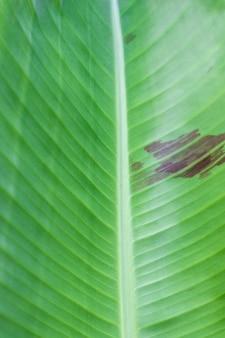 Folha de bananeira verde abstrata close-up do fundo da textura