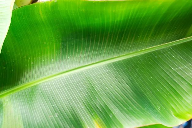 Folha de bananeira verde
