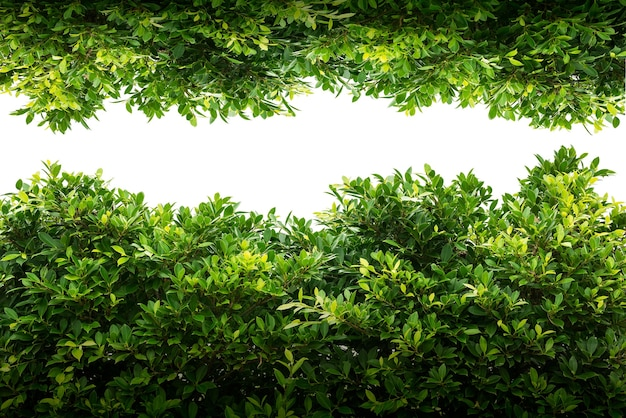 Folha de banyan verde isolada no branco