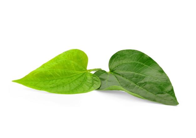 Folha de betel piper verde isolada na superfície branca. erva tailandesa, comida tailandesa (wildbetal leafbush) (piper sarmentosum roxb)