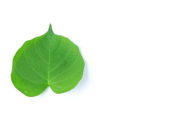 Folha de bidara verde isolada em um fundo branco