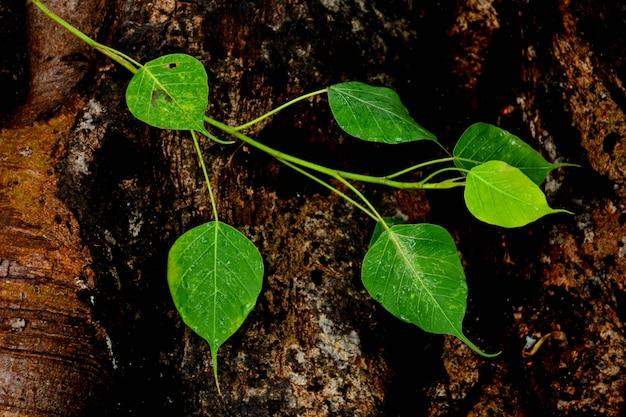 Folha de bo verde na raiz da árvore após o dia chuvoso