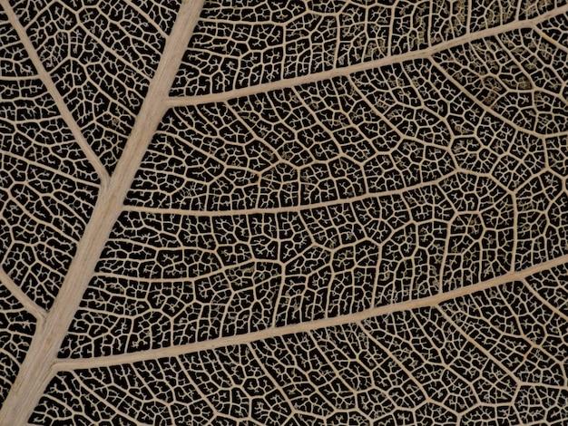 Folha de bodhi seca em fundo preto