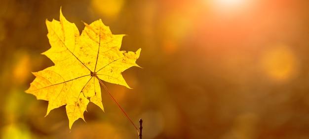 Folha de bordo amarela em fundo desfocado em tempo ensolarado com cores quentes de outono, copie o espaço