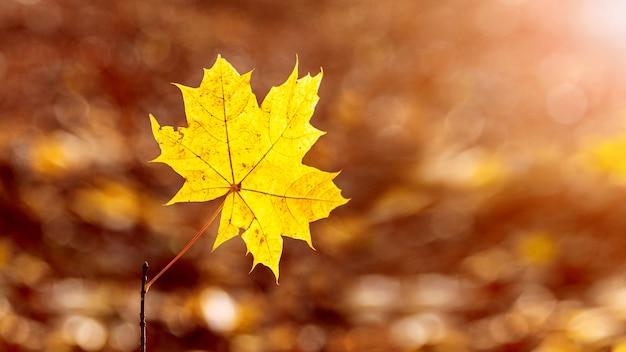 Folha de bordo amarela em um fundo desfocado em cores quentes de outono