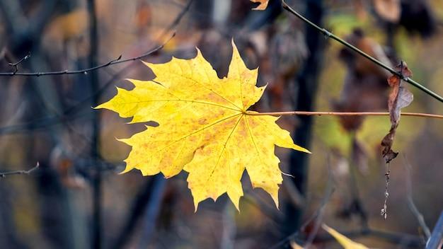 Folha de bordo amarela em um fundo desfocado na floresta em um fundo de árvores