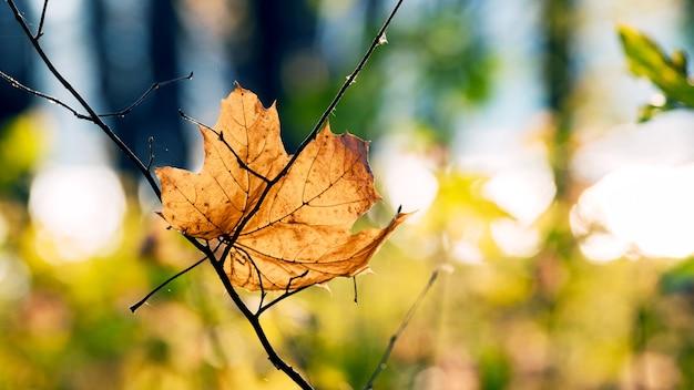 Folha de bordo amarela em um galho seco na floresta em um fundo desfocado