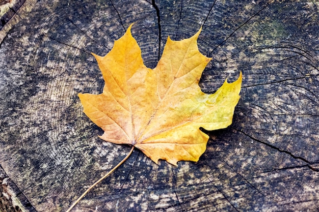 Folha de bordo amarela em um toco na floresta