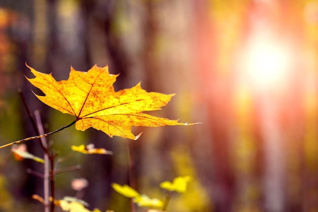 Folha de bordo amarela em uma árvore na floresta durante o pôr do sol